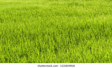 Green Rice field  in the farm of famer