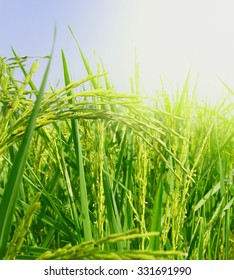 Green rice field with morning light.