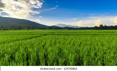 Green Rice Field with Mountains Background  under Blue Sky, Chiang Mai, Thailand