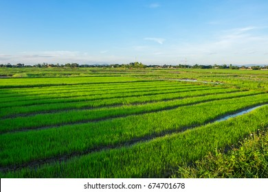 Green rice field with mountains and blue sky background.