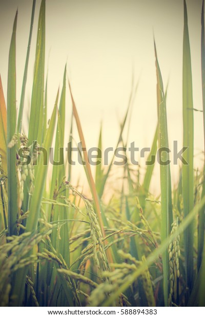 Green rice field in nature at Thiland. Vintage Tone.