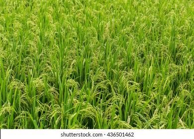 Green rice field on Bali island.