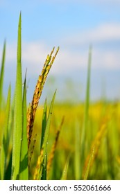 Green rice field , rice plant and ear of paddy, Green agriculture. Paddy field