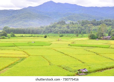 Green rice field in Pua Nan Thailand.Shooting at Puket temple.