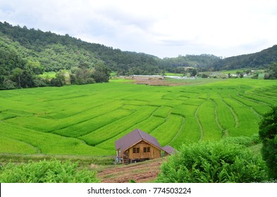 Green rice field In the rainy season at  Chaingmai, Thailand.
