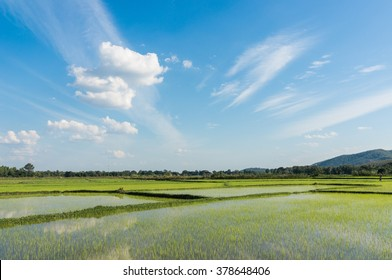 green rice field with sky and cloud in thailand