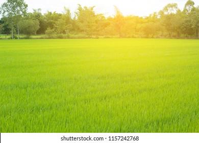 Green rice field at sunrise