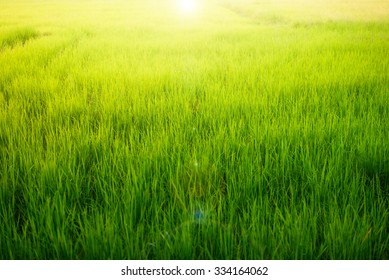 Green rice field at sunrise