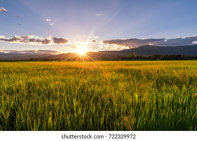 Green rice field at sunrise of mountain background.