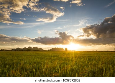 Green rice field at sunset.
