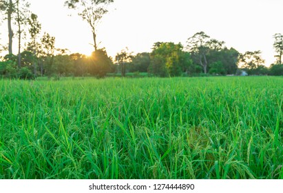Green rice field with sunset blackground.
