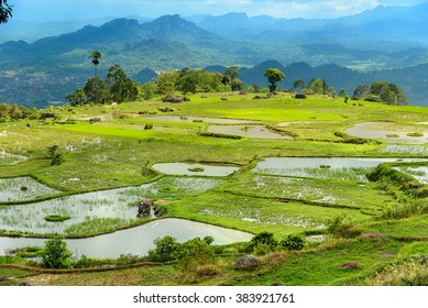 Green rice field terraces in Tana Toraja. South Sulawesi, Indonesia
