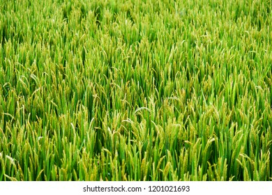Green rice fields in China.
