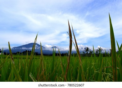 Green Rice Fields and Grass in Tropical Bali, Indonesia with a view of a Mountain