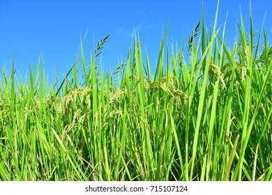 Green rice fields in Japan