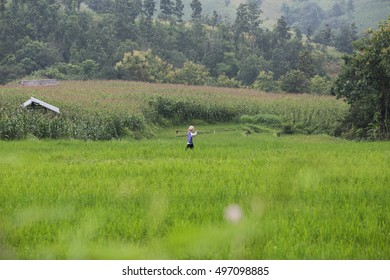 Green Rice fields in Mae jam , Chiamg Mai ,Thailand.