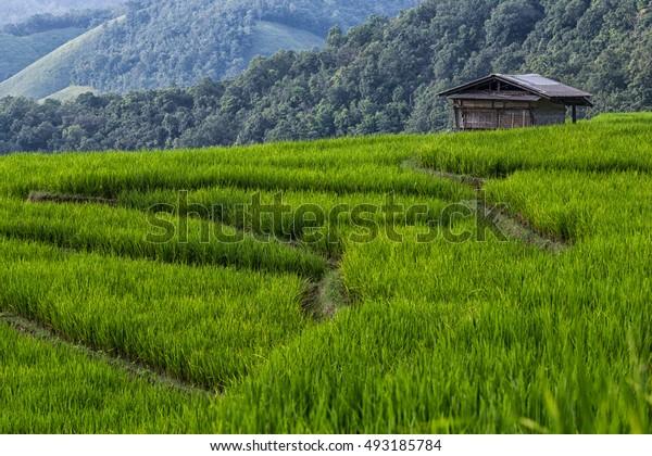 Green Rice fields in Mae jam , Chiamg Mai ,Thailand.