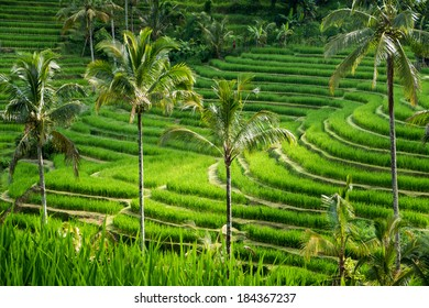 Green rice fields on Bali island, Jatiluwih, near Ubud, Indonesia, Asia