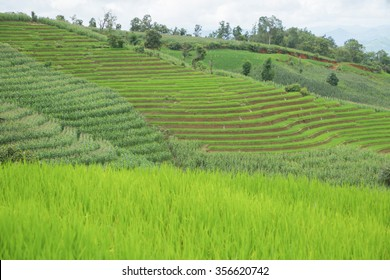 green Rice fields on terraced in Thailand, rice field or rice terraces in the mountain, rice field in the nature, travel place in the nature, nature background.