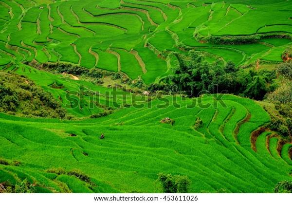 Green rice fields on terraced, Sapa, Vietnam