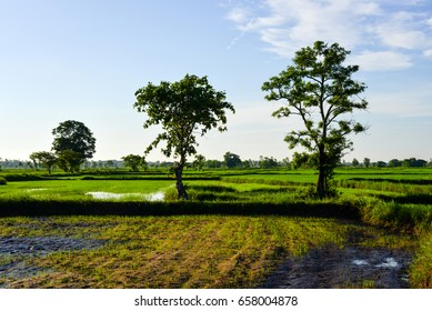 Green rice fields in the rainy season It is a rural farming season in Thailand.