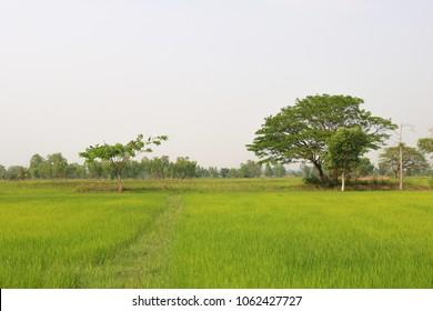 Green rice fields in Thailand - Shutterstock ID 1062427727
