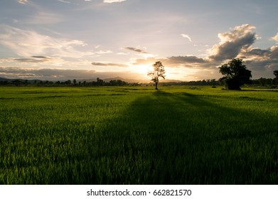 Green rice fields, trees middle in rice fields, evening sun Shining behind, beautiful clouds in the sky, these are rural images found in Thailand.