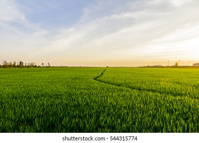 Green rice paddy fields and sunset.