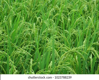 Green Rice Plants