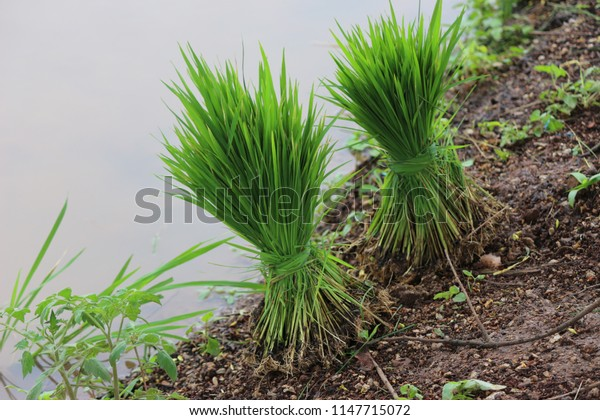 green rice plants for planting in rice fields