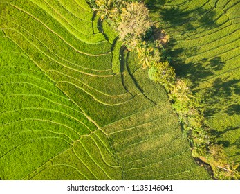Green rice terrace field in tropical countryside with line pattern aerial top view; Yogyakarta, Indonesia - 15 July 2018