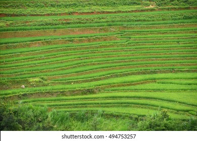 green rice terrace from la pan tan, vietnam