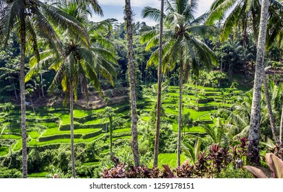 Green rice terraces of Bali, near Tegallalang village, Indonesia