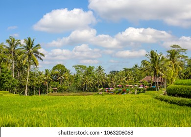 Green rice terraces, coconut palm trees, blue sky and white cloud in recreation area near Ubud, island Bali, Indonesia