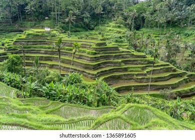 Green rice terraces in rice fields on mountain near Ubud, tropical island Bali, Indonesia . Nature concept