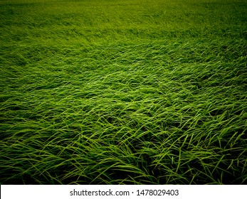 The green rice tree in the field is blown by the wind.