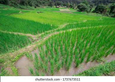 Der grüne Reisbaum wächst auf Reisfeldern
