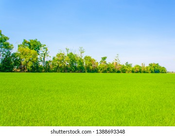 Green rice trees grows densely in the beautiful urban field under blue sky on the sunny day of summer