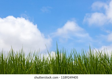 Green rice with white clouds on a beautiful day in the sky.