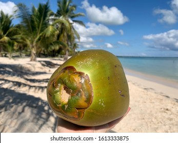 Green ripe coconut in the hand close up on the background of paradise beach landscape with caribbean sea, white sand and tropical palm trees