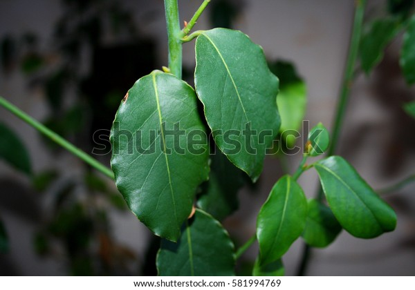 Green and ripe leaves of laurel tree hanging from the stems