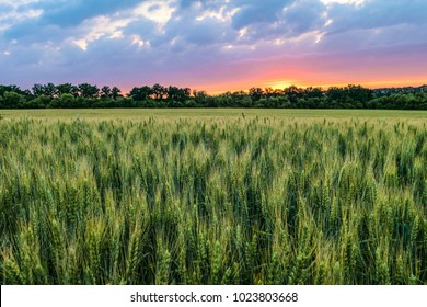 Green ripening ears of wheat field under cloudy sky at sunset. Agricultural natural plantation background with limited depth of field.