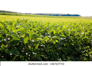 Green ripening soybean field, agricultural landscape. Green ripening soybean field, agricultural landscape
