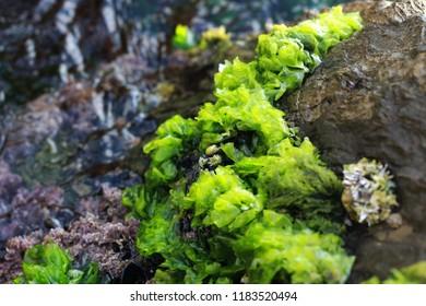 Green rock algae at seaside.