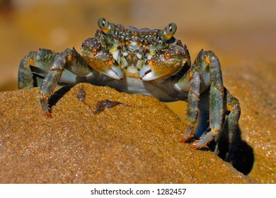 Green rock crab on rock, southern Africa