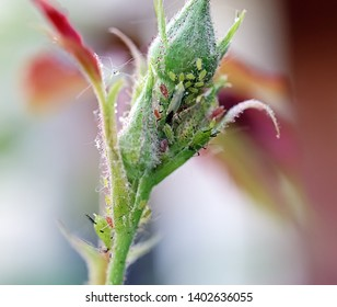 Green rose aphid (Macrosiphum rosae, Aphididae) and large rose sawfly (Arge pagana) on a young stalk and rosebud. Close-up. Macro. Soft focus effect. Pests of roses.