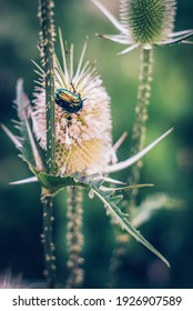 green rose chafer on a  cut-leaved teasel