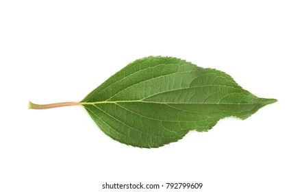 Green rose leaf isolated over the white background