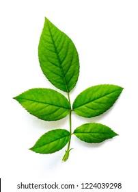 Green rose leaf on white background