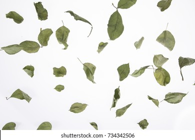 Green Rose leafs and isolated white background